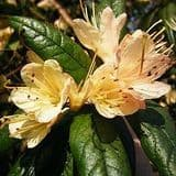 Rhododendron 'Crossbill' - Find Azleas,Camellias,Hydrangea and Rhododendrons at Loder Plants